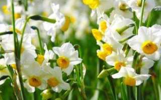 Нарцисс садовый (белый) — полезные свойства, описание