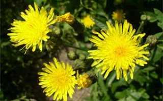 Осот полевой — полезные свойства, описание
