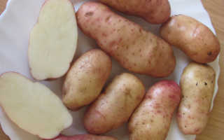 Сорт картофеля «Американка (Ранняя роза)» – описание и фото