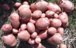 Мозаика картофеля: понятие, виды, методы борьбы, профилактика