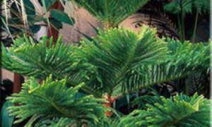 Араукария бразильская описание и особенности