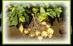 Калий для картофеля: нормы и особенности внесения удобрений