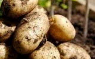 Сорт картофеля «Идеал» – описание и фото
