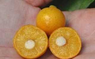 Африканский вишнёвый апельсин описание и особенности