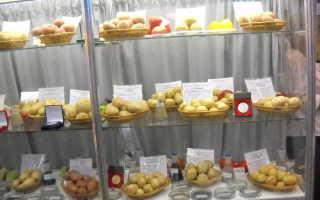 Сорт картофеля «Памяти Осиповой» – описание и фото