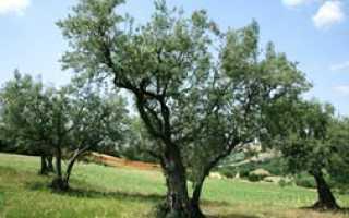 Оливковое дерево — полезные свойства, описание