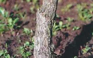 Утолщение ствола растений, как лечить