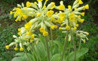 Первоцвет весенний — полезные свойства, описание