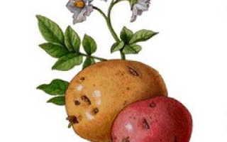 Сорта картофеля для Центрального региона: список