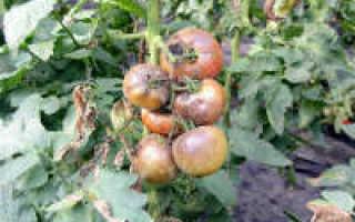 Народные средства от фитофторы помидор и картофеля — обзор
