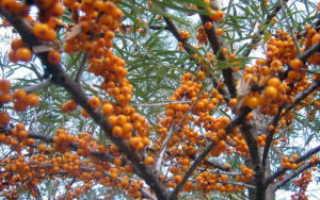 Облепиха крушиновидная — полезные свойства, описание