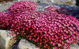 Камнеломка клубеньковая — полезные свойства, описание