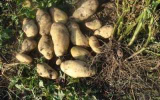 Посадка картофеля ростками – полная технология выращивания
