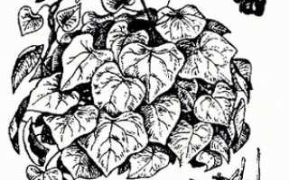 Плющ амурский — полезные свойства, описание