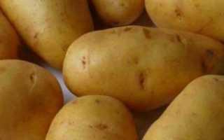 Сорт картофеля «Импала» – описание и фото