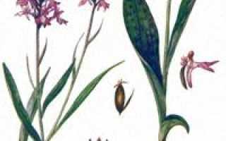 Пальчатокоренник пятнистый (крапчатый) — полезные свойства, описание