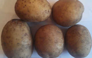 Сорт картофеля «Зорачка» – описание и фото