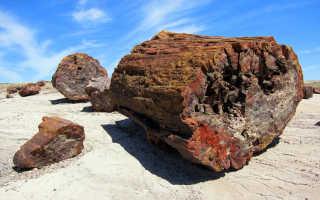 Каменное дерево — полезные свойства, описание