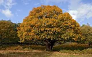 Дуб черешчатый — полезные свойства, описание