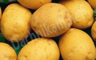Сорт картофеля «Одиссей» – описание и фото