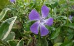 Клематис маньчжурский — полезные свойства, описание