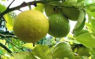 Апельсин-бергамот — полезные свойства, описание