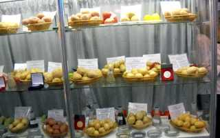 Сорт картофеля «Онежский» – описание и фото