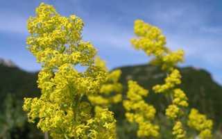 Подмаренник настоящий (жёлтый) — полезные свойства, описание