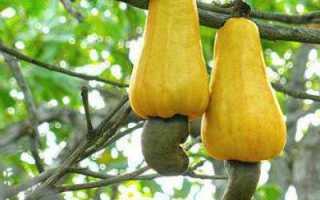 Орех индийский — полезные свойства, описание