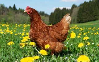Куриный помет сухой   ФАСКО — отзывы, описание