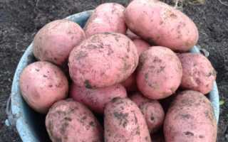 Сорт картофеля «Малиновка» – описание и фото