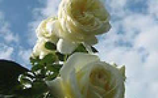 ЖКУ Грин Бум для гортензий — отзывы, описание