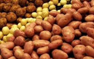Сорт картофеля «Зольский» – описание и фото