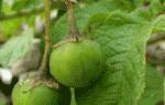 Ягоды картофеля: понятие и выращивание семян из ягод