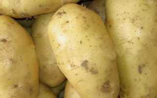Сорт картофеля «Сапрыкинский» – описание и фото