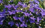 Лобелия сидячецветковая — полезные свойства, описание