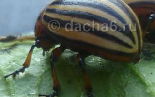 Дестрой от колорадского жука на картофеле: инструкция