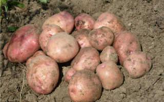 Сорт картофеля «Снегирь» – описание и фото