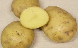Сорт картофеля «Сударыня» – описание и фото