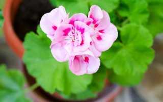 Пеларгония — полезные свойства, описание