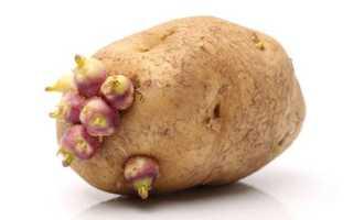 Сорт картофеля «Кормилица» – описание и фото