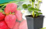 Удобрение для клубники и земляники  ФАСКО — отзывы, описание