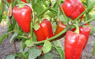 Перец однолетний — полезные свойства, описание