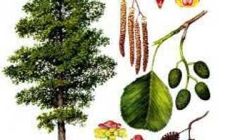 Ольха серая — полезные свойства, описание