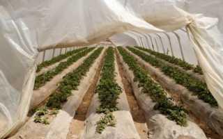 Как вырастить картофель в теплице – полная технология