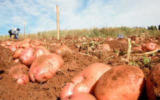 Правильная подкормка картофеля при посадке и во время роста