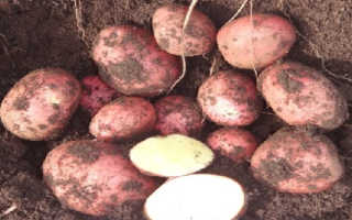 Сорт картофеля «Моцарт (Mozart)» – описание и фото