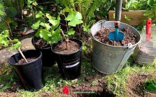 Как правильно выбирать и сажать саженцы фруктовых деревьев