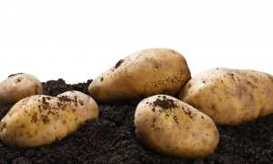 Сорта картофеля для Центрально-черноземного региона: список