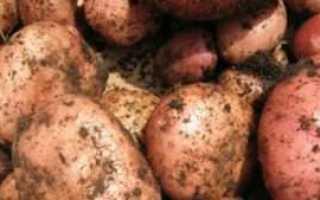 Подходящие сорта картофеля для Украины: полный список